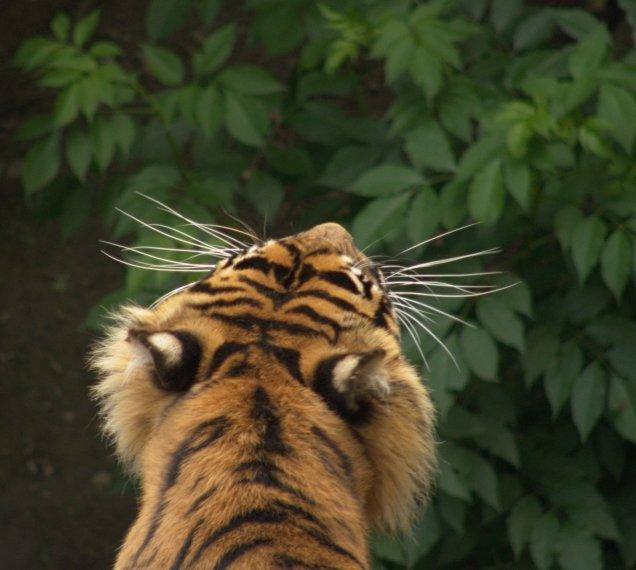 Tygrys - Dudley ZOO