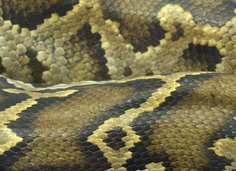 Skóra węża - Dudley ZOO